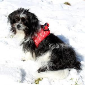 Christmas Harnesses, Collars, and Leashes for Dogs